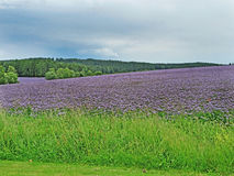 El color púrpura floreciente del prado ajardina con el bosque y las nubes en fondo Fotos de archivo