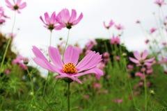 El color rosado grande hermoso del cosmos florece en jardín Imagen de archivo