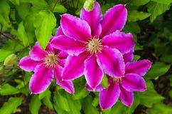 El color rosado púrpura de la clemátide florece el detalle del pétalo del flor de la floración Foto de archivo libre de regalías