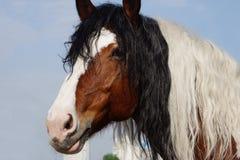 El colorear hermoso del caballo se mezcló con una melena rizada Foto de archivo libre de regalías