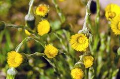 El Coltsfoot (farfara del Tussilago) florece en resorte Foto de archivo libre de regalías