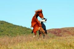 El combate de caballos Fotografía de archivo libre de regalías