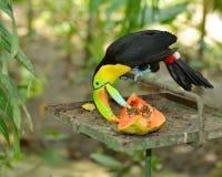 El comedor de la papaya Imagen de archivo
