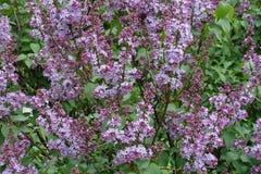 El comenzar del florescence de la lila en primavera fotografía de archivo