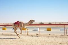 El competir con de camello de la robusteza imagen de archivo