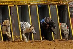 El competir con de galgo Foto de archivo