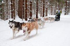 El competir con de perro de trineo Fotografía de archivo
