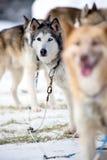 El competir con de perro de trineo Fotos de archivo