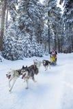 El competir con de perro de trineo Imagen de archivo