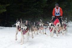 El competir con de perro de trineo, Donovaly, Eslovaquia Fotos de archivo libres de regalías