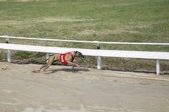 El competir con de perro del galgo en la corte de la raza del perro Imagen de archivo