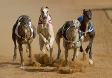 El competir con de perros Foto de archivo
