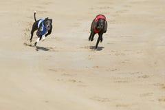 El competir con de perros del galgo en la corte de la raza del perro Imagen de archivo