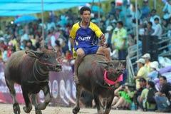 El competir con del búfalo Foto de archivo
