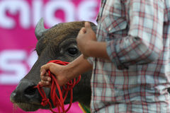 El competir con del búfalo Imagen de archivo libre de regalías