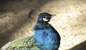 El concepto de naturaleza Tiro cosechado de un pavo real imagen de archivo libre de regalías