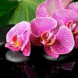 El concepto del balneario de ramita floreciente peló la orquídea violeta (phalaenopsi Imágenes de archivo libres de regalías