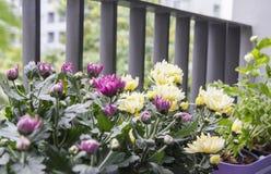 El concepto del hogar y del jardín de crisantemo florece en el balcón Fotos de archivo libres de regalías