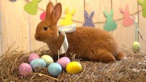 El concepto tradicional del símbolo del conejo de la celebración mullida de pascua en oler de mentira del heno eggs metrajes