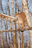 El concolor del puma del puma de la hembra adulta mira a la izquierda de árbol Fotografía de archivo