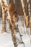 El concolor del puma del puma de la hembra adulta camina abajo de árbol Imágenes de archivo libres de regalías
