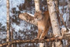 El concolor del puma del puma de la hembra adulta equilibra en árbol de abedul Foto de archivo