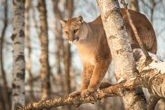 El concolor del puma del puma de la hembra adulta mira abajo de rama del abedul Imágenes de archivo libres de regalías