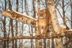 El concolor del puma del puma de la hembra adulta mira hacia fuera de árbol Foto de archivo