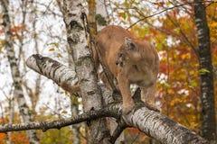 El concolor del puma del puma del varón adulto mira a la izquierda de árbol de abedul Fotografía de archivo