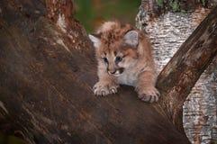 El concolor femenino de Kitten Puma del puma en rama agarra hacia fuera Fotos de archivo