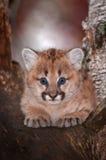 El concolor femenino de Kitten Puma del puma mira fijamente hacia fuera de árbol Imágenes de archivo libres de regalías