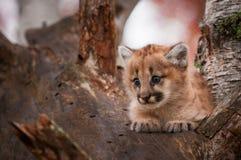 El concolor femenino de Kitten Puma del puma se sienta comfortablemente en árbol Fotos de archivo
