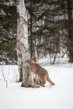 El concolor femenino del puma del puma agarra a la base del árbol de abedul foto de archivo libre de regalías