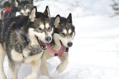 El conductor y el husky siberiano del dogteam de Musher en la competencia del invierno de la nieve compiten con en bosque Foto de archivo