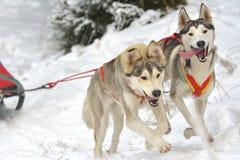 El conductor y el husky siberiano del dogteam de Musher en la competencia del invierno de la nieve compiten con en bosque Imagen de archivo
