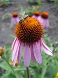 El coneflower púrpura del este florece (rudbeckia) con la abeja Foto de archivo libre de regalías