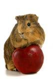 El conejillo de Indias come una manzana Imágenes de archivo libres de regalías