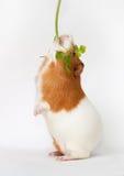 El conejillo de Indias está comiendo el verdor que se coloca encendido trasero se alza foto de archivo