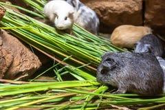 El conejillo de Indias o el porcellus nacional de Cavia del conejillo de Indias imagen de archivo