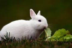 El conejito blanco come la col Fotos de archivo libres de regalías
