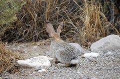 El conejito de Texas Cottontail se detuvo brevemente en la calzada de la grava fotos de archivo