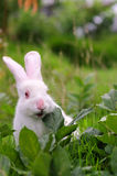 El conejo blanco come la hierba Imagen de archivo libre de regalías