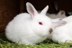 El conejo blanco con rojo observa sentarse en una cama de la hierba foto de archivo