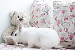 El conejo blanco hermoso está oliendo un oso de peluche Fotografía de archivo libre de regalías