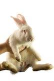 El conejo blanco se aísla en un fondo blanco Imagenes de archivo