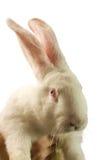 El conejo blanco se aísla en un fondo blanco Fotos de archivo