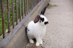 El conejo blanco y negro se sienta en un cercado Foto de archivo
