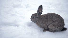 El conejo camina a través de la nieve almacen de video