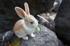 El conejo come lechuga en la roca Fotografía de archivo