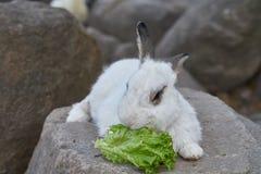El conejo come lechuga en la roca Foto de archivo
